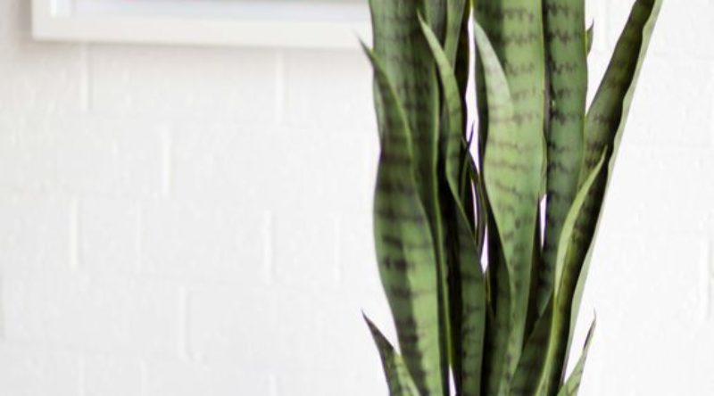 Espada de São Jorge: como cuidar, plantar e inserir no ambiente