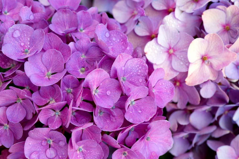 Imagem de violetas