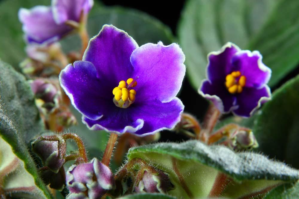 Tipos de violetas
