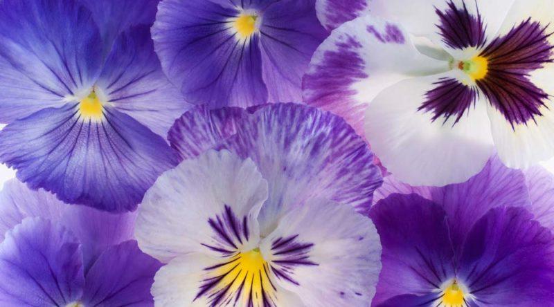 Como cuidar de violetas: dicas para ter flores sempre saudáveis