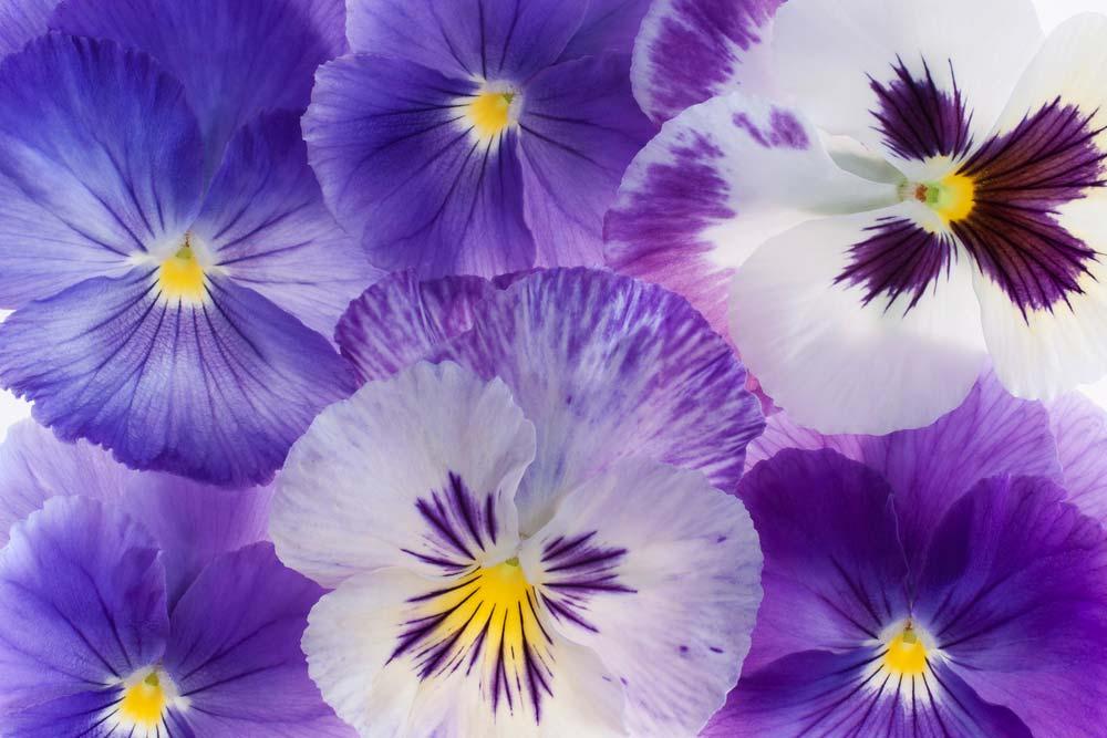 Resultado de imagem para violeta