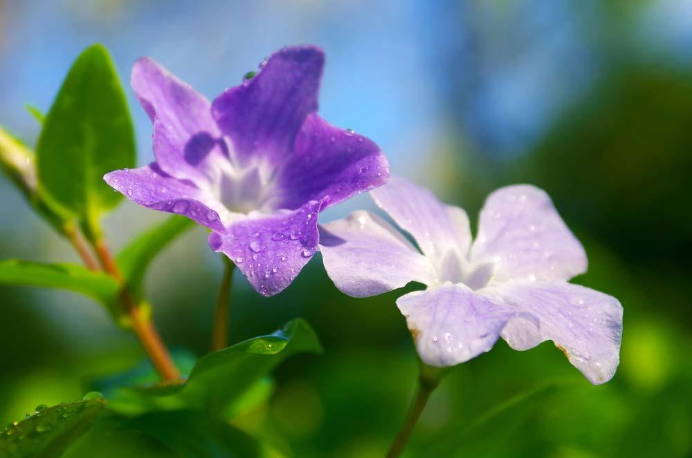 Como cuidar de violetas no jardim