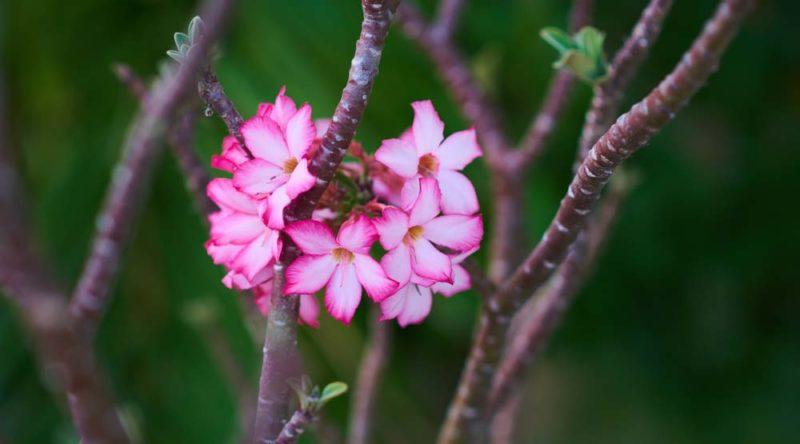Como cuidar de rosa do deserto: veja dicas essenciais
