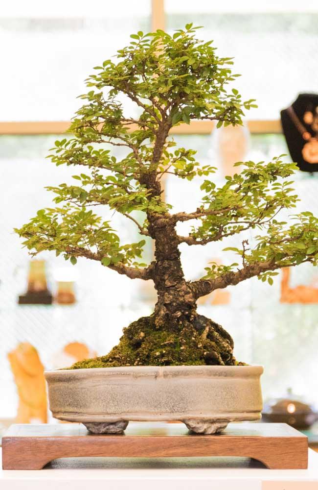 Bonsai: réplica perfeita de uma árvore cultivada livremente