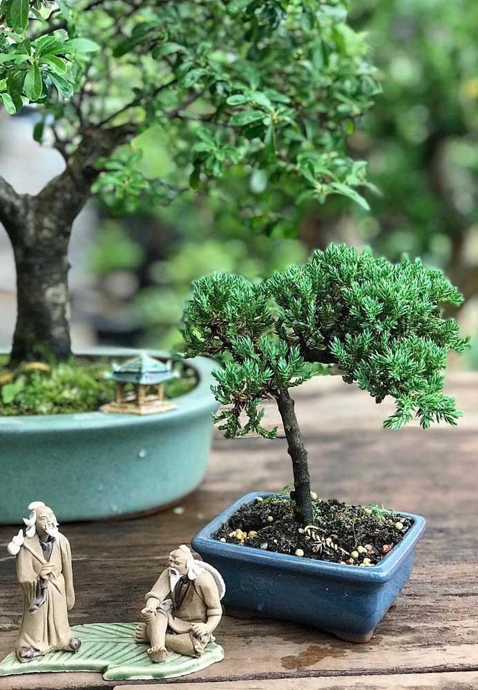 Bonsai de pinheiro: um tipo comum e fácil de encontrar