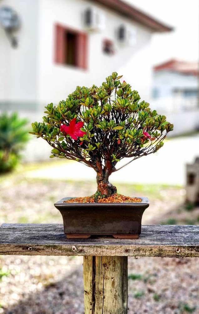 Bonsai de azaleia para derreter o coração de quem é apaixonado por flores