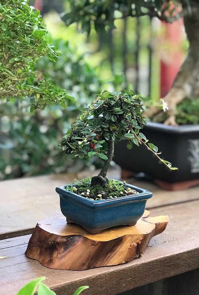 O tronco de madeira ajuda a dar uma leve destacada visual no bonsai ainda em formação