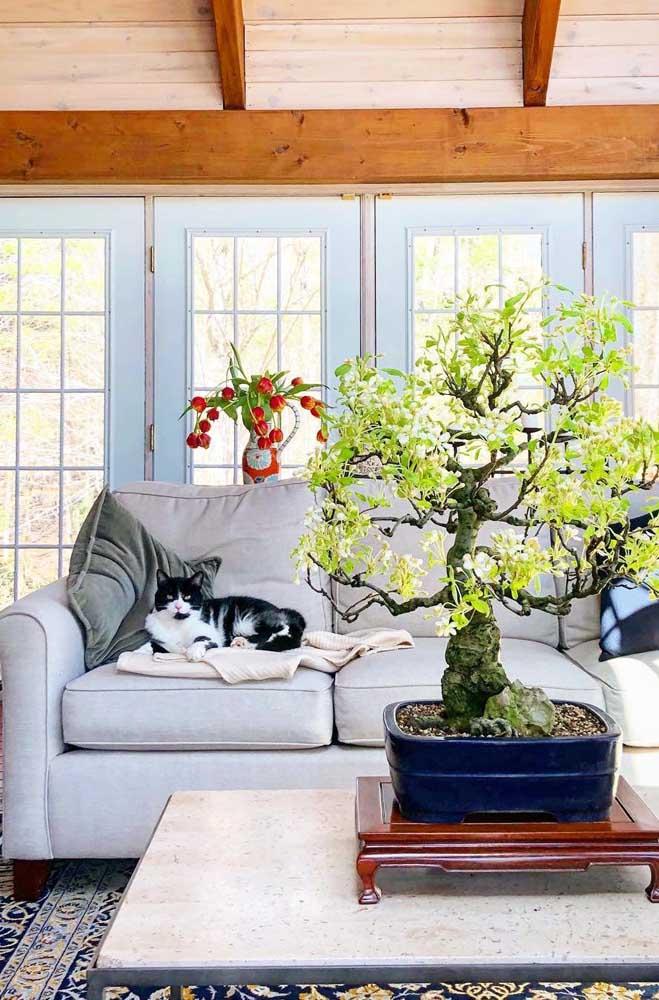 Um senhor bonsai sobre a mesinha de centro; sabia que o bonsai mais antigo do mundo tem cerca de mil anos de idade?