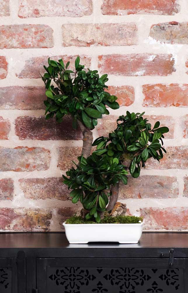 Lembre-se que o vaso pequeno onde o bonsai é plantado exige uma atenção maior com as regas e adubação
