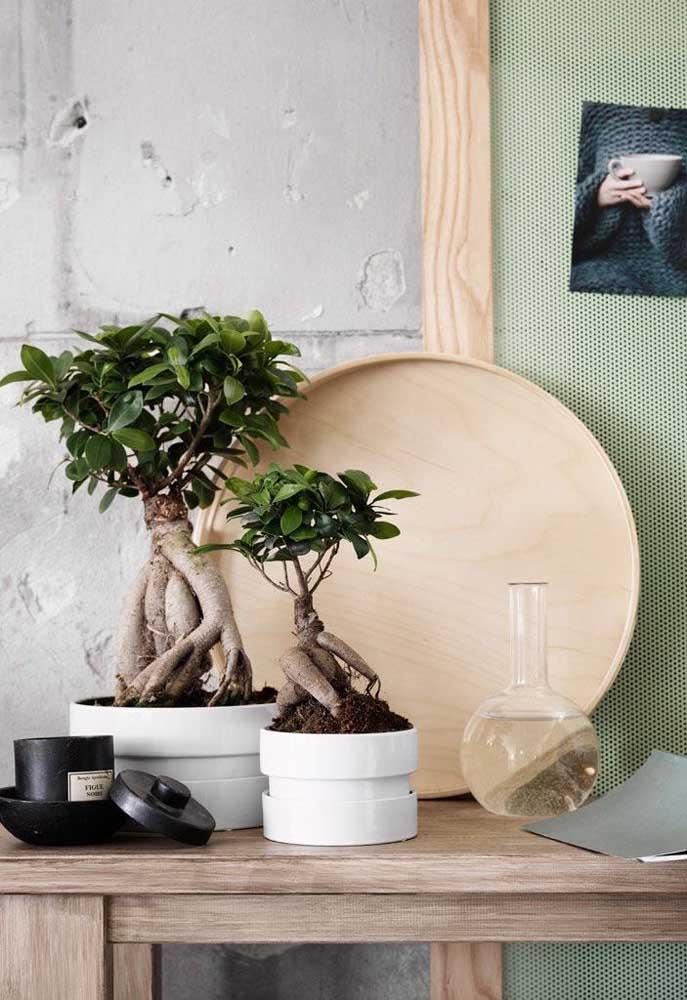 Dupla de bonsais da mesma espécie, mas com graus de crescimento diferentes