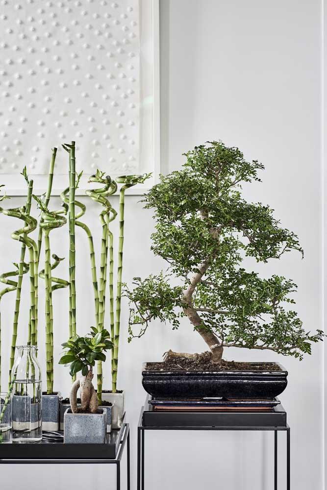 Bonsai e bambu da sorte: dois ícones muito simbólicos da cultura oriental na decoração da casa