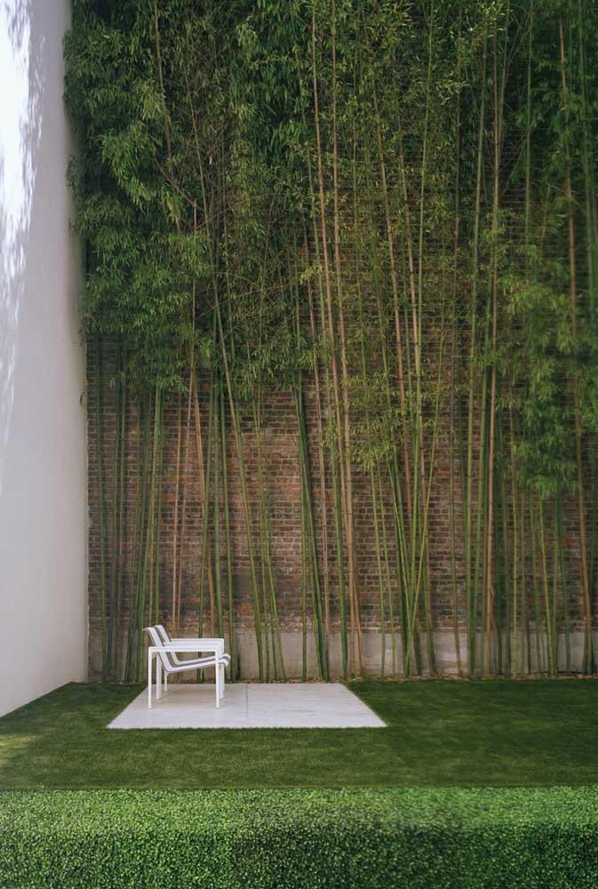 Cerca viva de Bambu, perfeita para muros mais altos