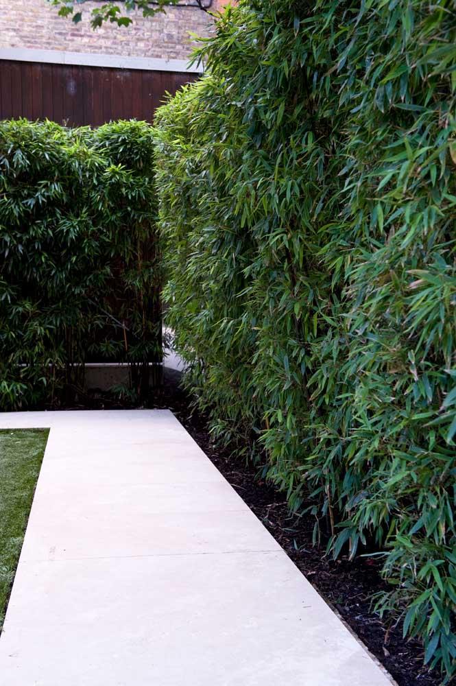 Folhas verdes escuras e mais longas ficam lindas em cercas vivas mais altas