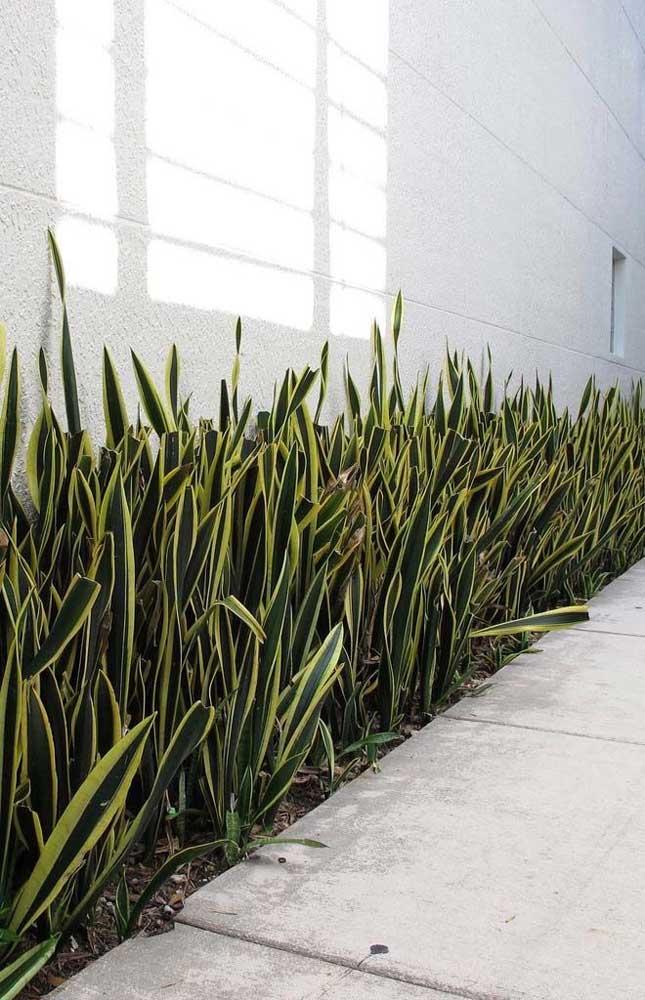 Espadas de são Jorge: excelente opção de planta para quem deseja um jardim simples e de fácil manutenção
