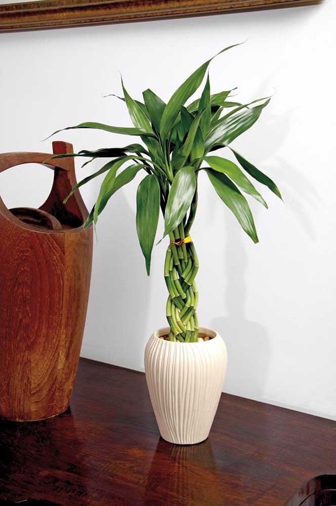 Bambu da Sorte com caules trançados no vaso de cerâmica; elegante e refinado
