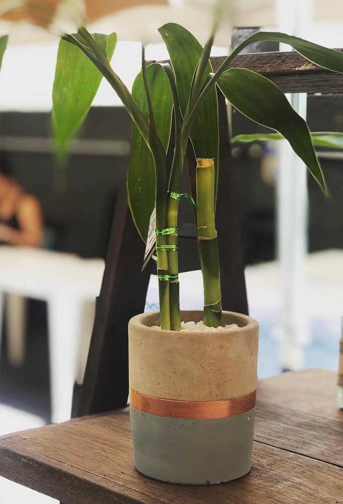 Não precisa de muito espaço para plantar o Bambu da Sorte; basta um pequeno vaso