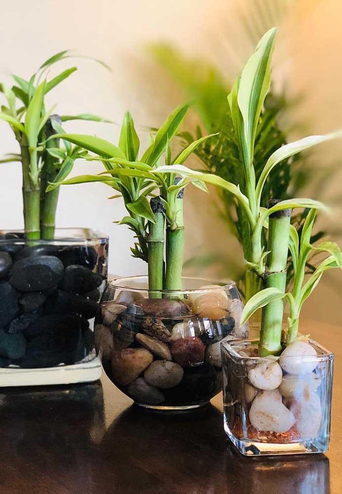 Além de deixarem o vaso mais bonito, as pedras são boas companhias para o Bambu da Sorte
