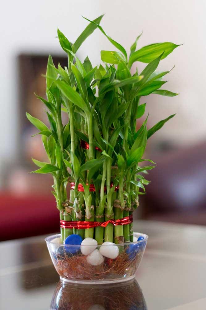 Bambu da Sorte plantado em água, em vaso de vidro pequeno