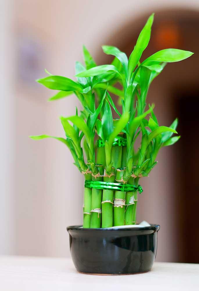 Pequena muda de Bambu da Sorte em vaso pequeno de cerâmica