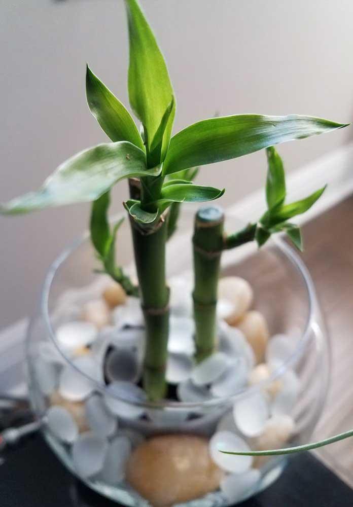 Vasos de vidro também comportam bem o Bambu da Sorte