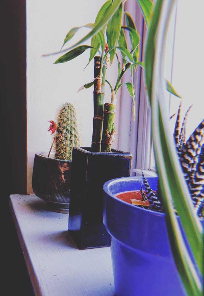 O Bambu da Sorte fica sempre bem próximo às janelas