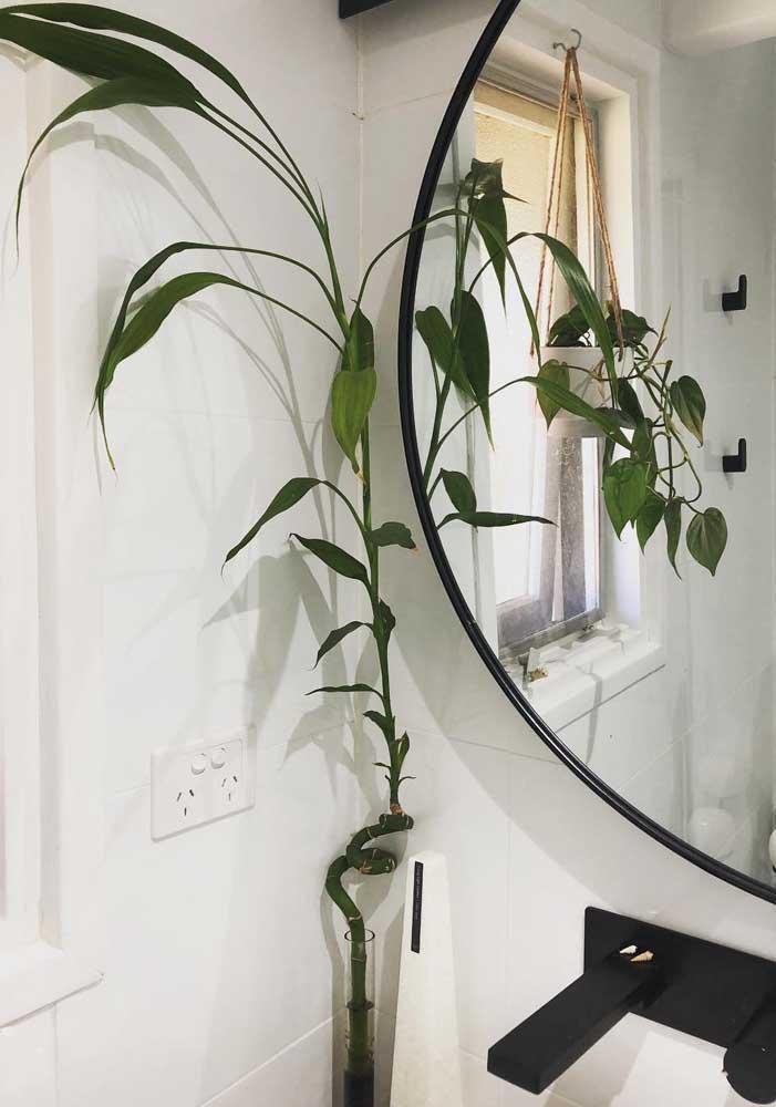 Ótima opção para banheiros: Bambu da Sorte grande
