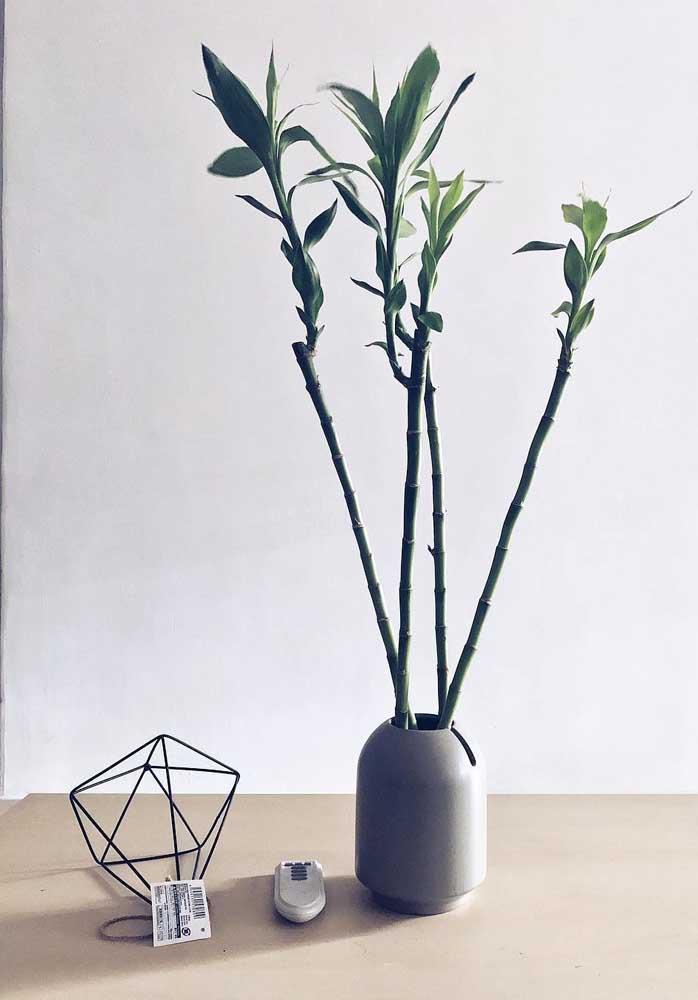 Bambu da Sorte com quatro galhos, perfeito para afastar e prevenir doenças