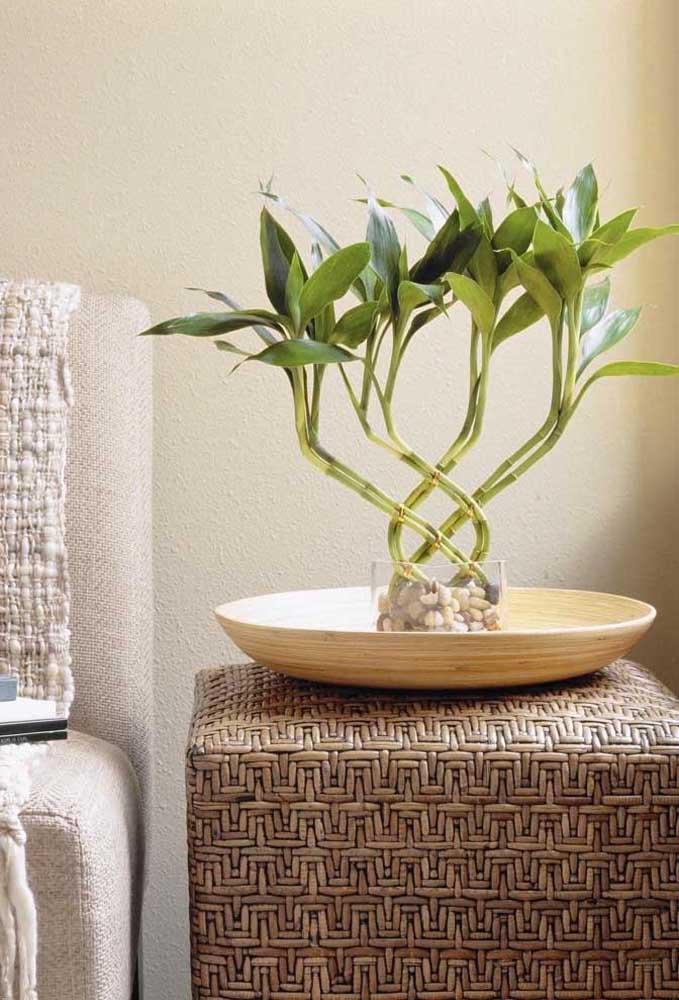 Quando moldados, os galhos do Bambu da Sorte causam um lindo efeito na planta