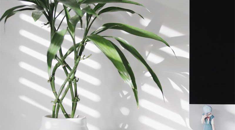 Bambu da sorte: como cuidar, dicas e ideias de decoração