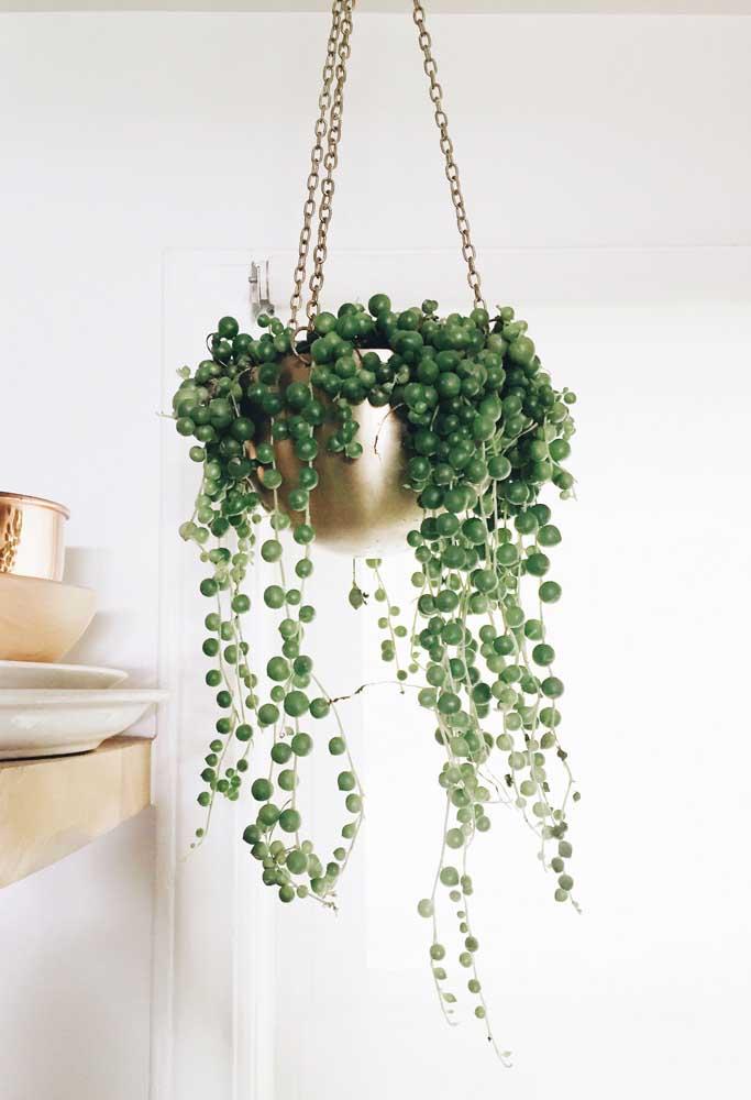 O colar de pérolas é uma das espécies mais lindas de suculentas que é perfeita para cultivar em vasos no alto.