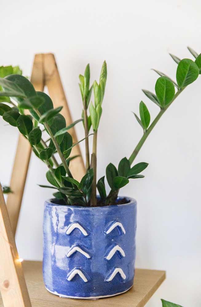 Vaso de cerâmica azul para a zamioculcas pequena, ainda em crescimento