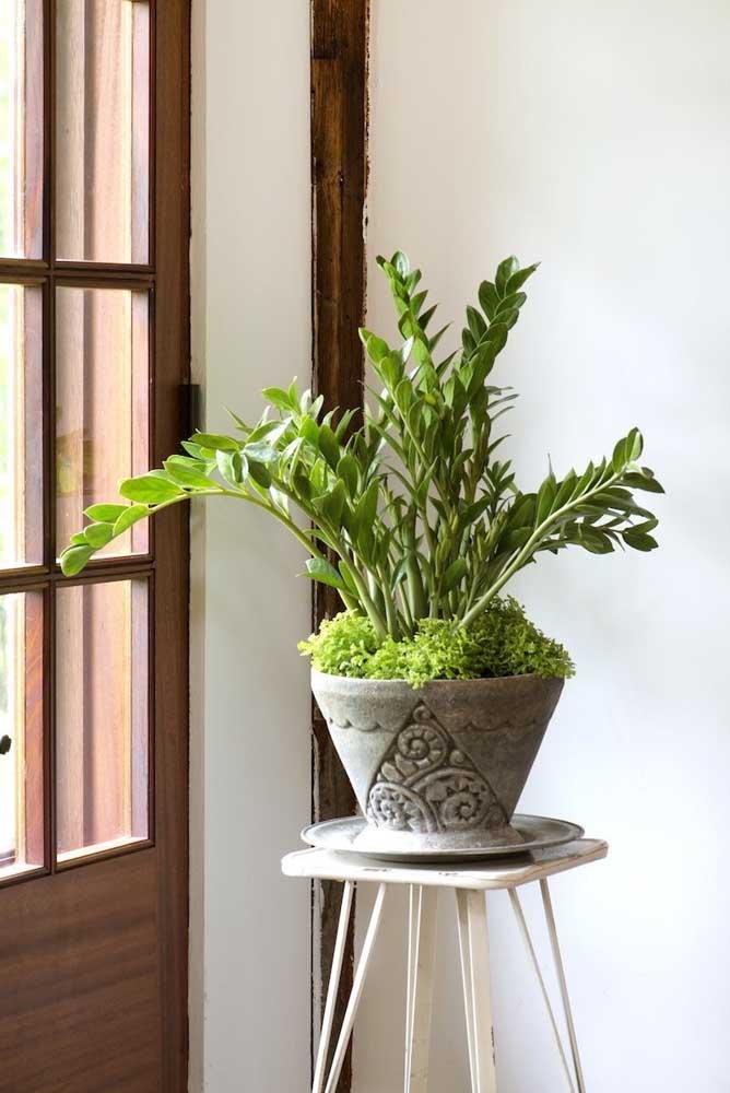 O vaso de cimento decorado comporta com muito estilo a zamioculcas e o musgo que faz a forração