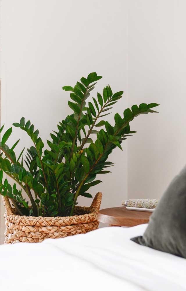 Já essa outra zamioculcas aqui encanta pelo tamanho e exuberância de suas folhas verdes intensas