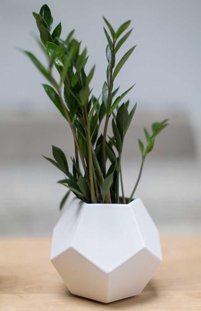 Mini vaso super moderno de zamioculcas