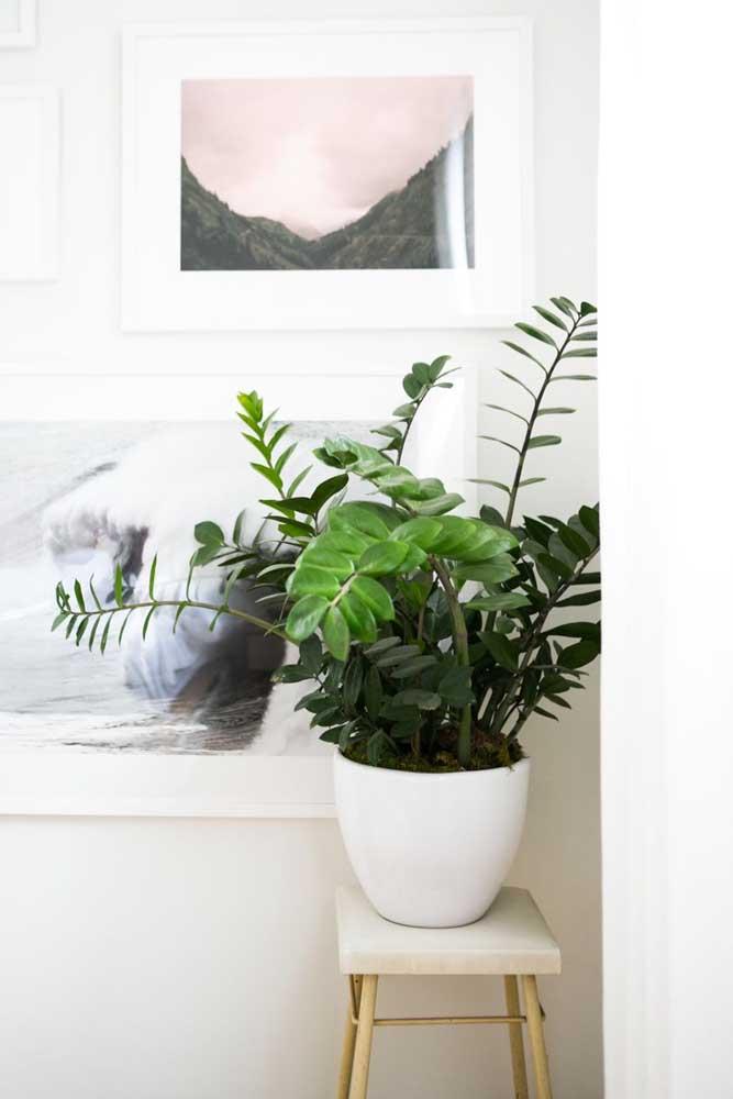 Um vaso branco é perfeito para destacar o verde intenso das folhas da zamioculcas