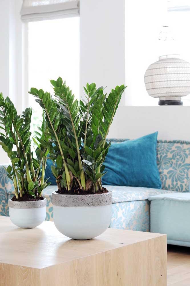 Uma dupla de zamioculcas para decorar a mesa de centro da sala de estar