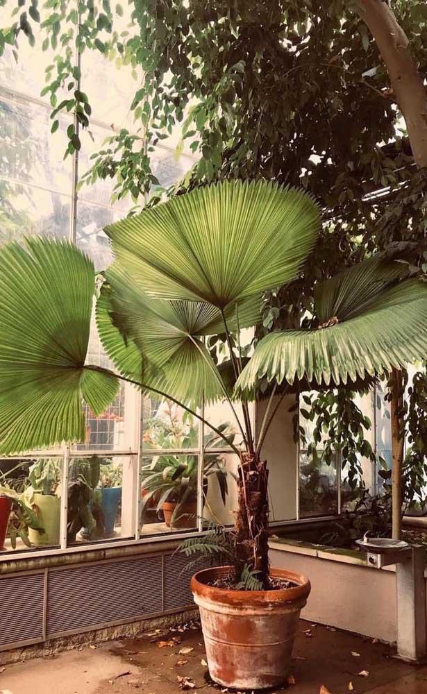 Mas você também pode colocar a palmeira leque na parte externa da casa e cultivá-la dentro de um vaso.
