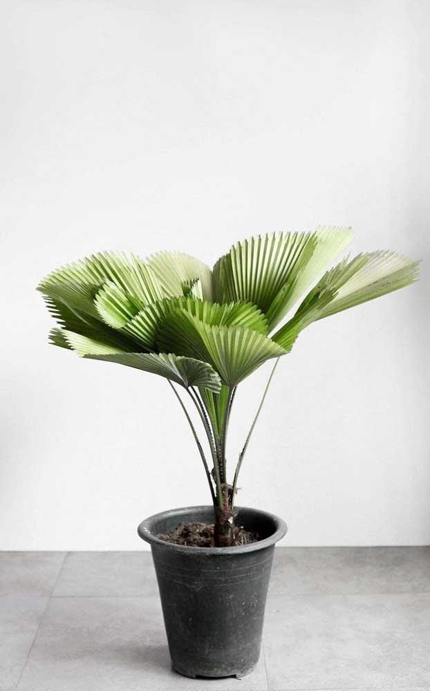 É possível colocar a palmeira dentro de um vaso e cultivá-la em ambientes internos.