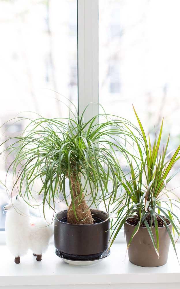 Você acredita que existem palmeiras desse tamanho?