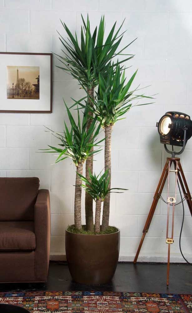 Dá até para cultivar mais de uma palmeira no mesmo vaso, basta saber podar corretamente.