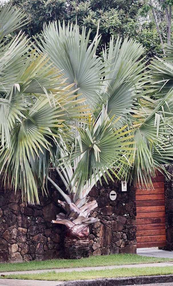 Olha que palmeira elegante para colocar no jardim da sua casa.