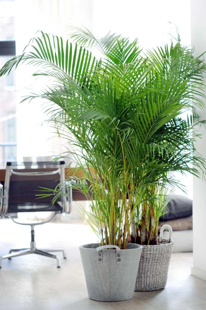 Uma dupla deslumbrante de palmeiras ráfias decorando e esverdeando o escritório