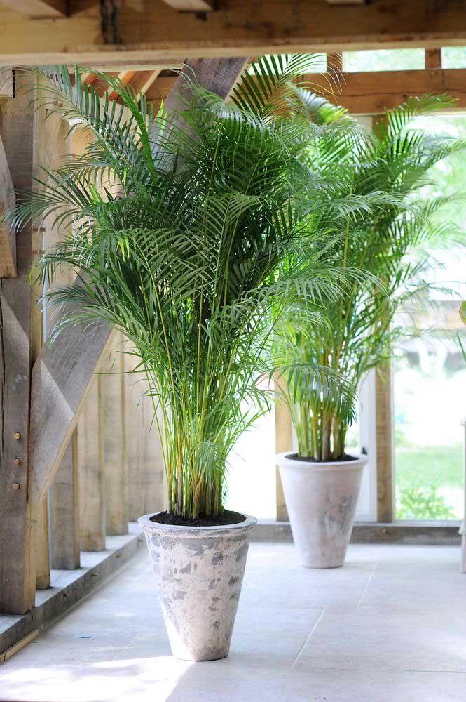 Vasos alongados para acompanhar o formato da palmeira ráfis