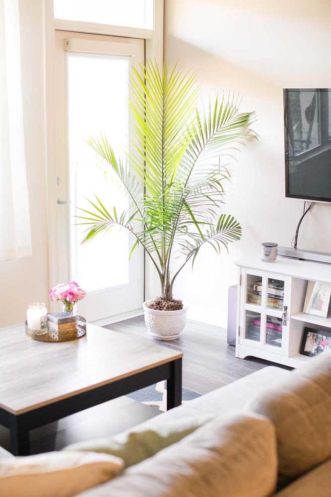 Palmeira ráfis na sala de estar crescendo lindo e verde ao lado da janela