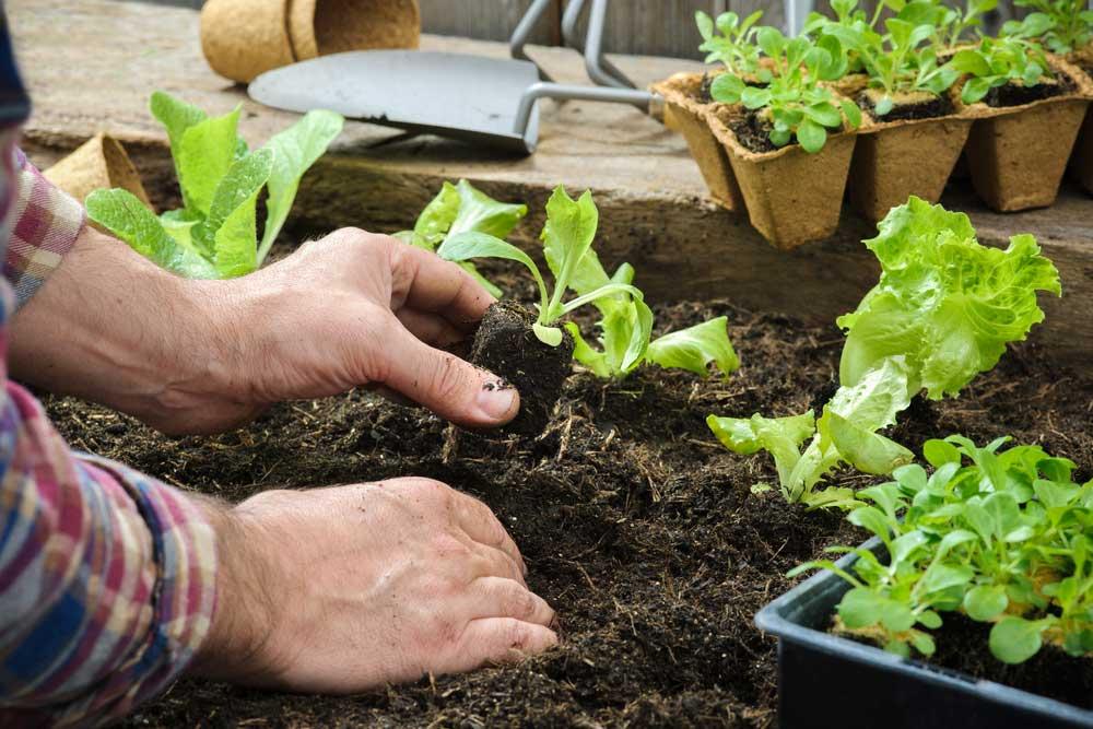 Como plantar alface com o talo
