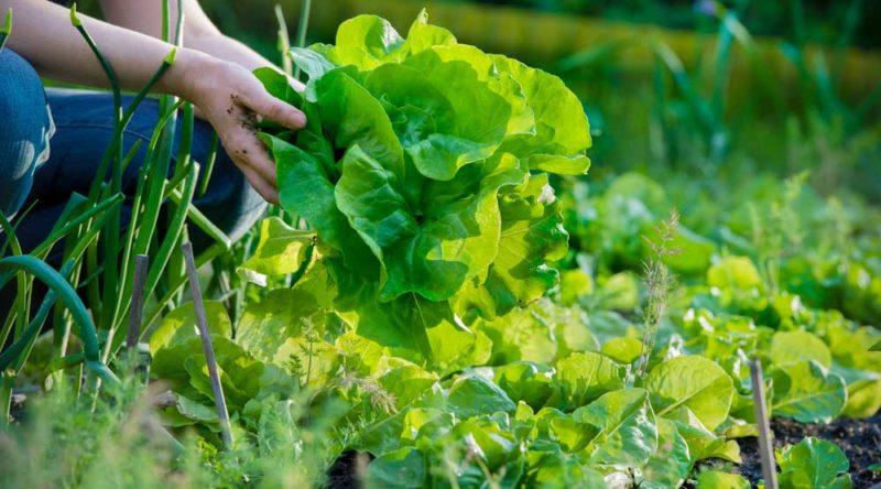 Como plantar alface: veja passo a passo e qual a forma ideal de cultivo