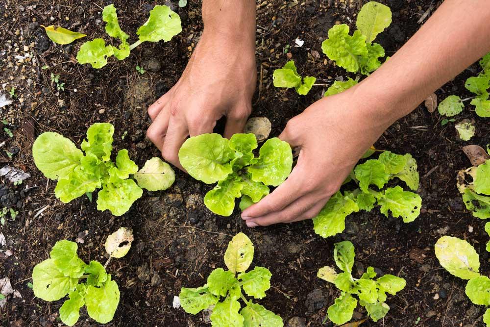 Como plantar alface passo a passo