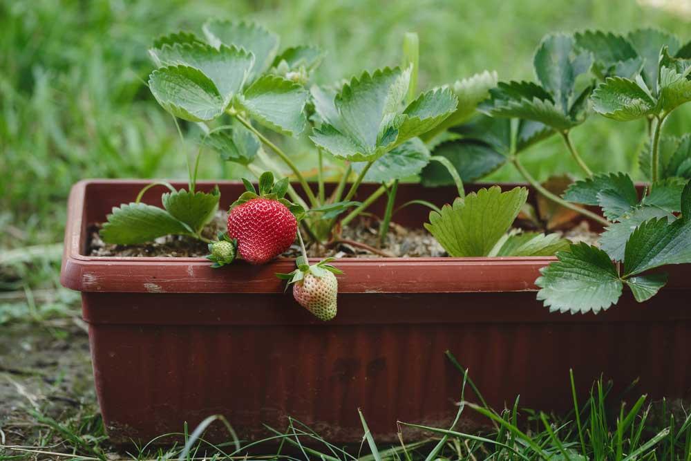 Como plantar morango com a fruta