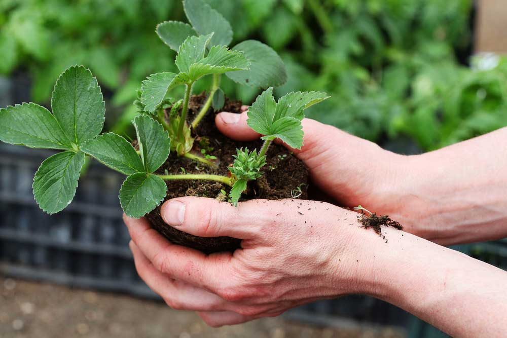 Como plantar morango orgânico