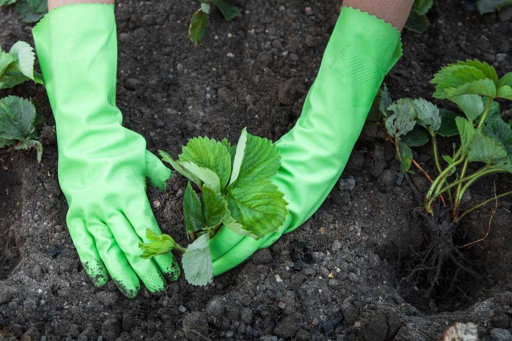 Como plantar morango em cano de PVC
